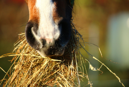 Horse Eating Hay